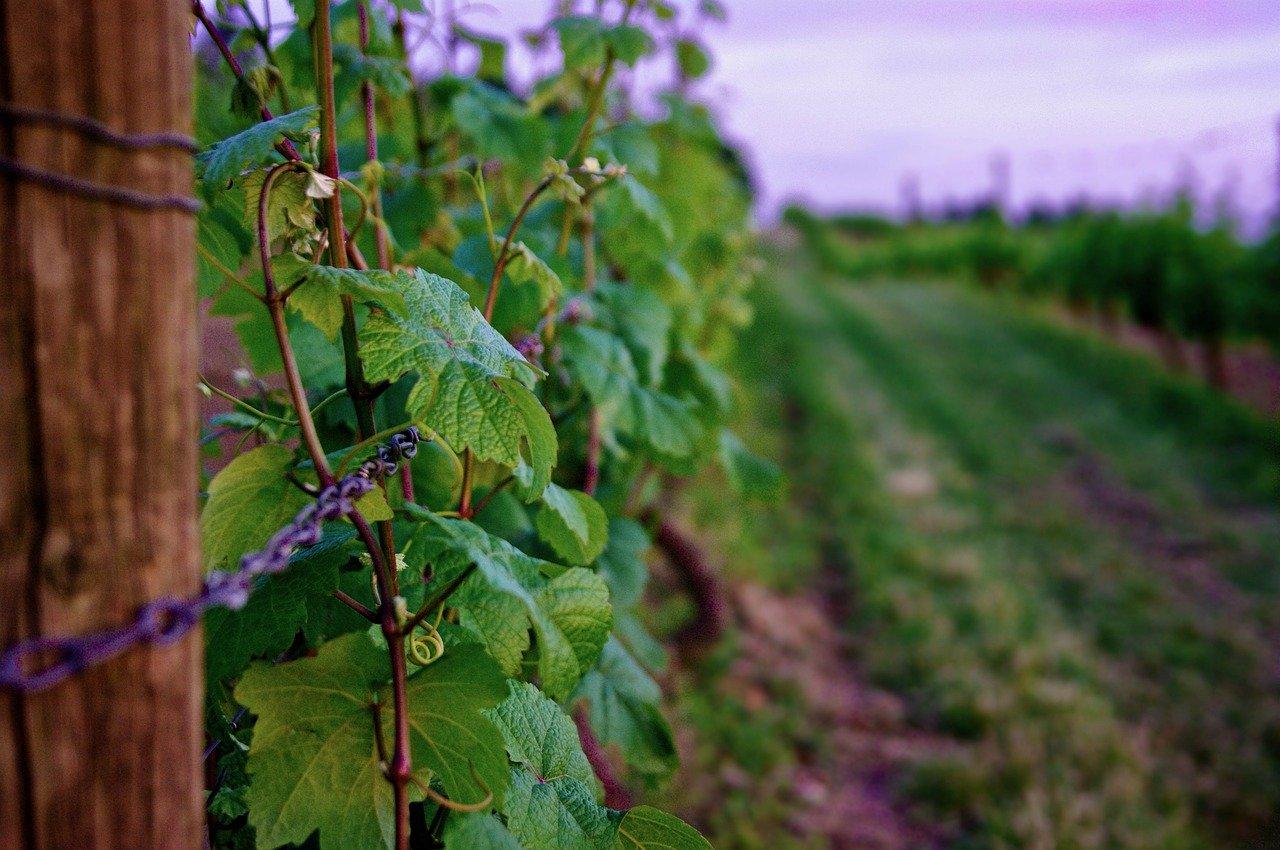 vineyard-5946749_1280